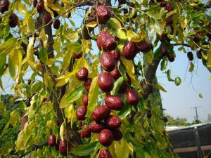 jujube-fruit1